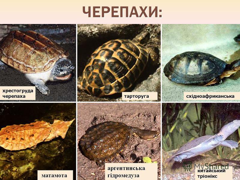 ЧЕРЕПАХИ: хрестогруда черепаха тарторугасхідноафриканська матамота матамота аргентинська гідромедуза китайський тріонікс