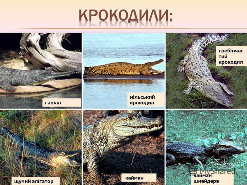 гавіал нільський крокодил гребінчас тий крокодил щучий алігатор кайман кайман кайман шнайдера