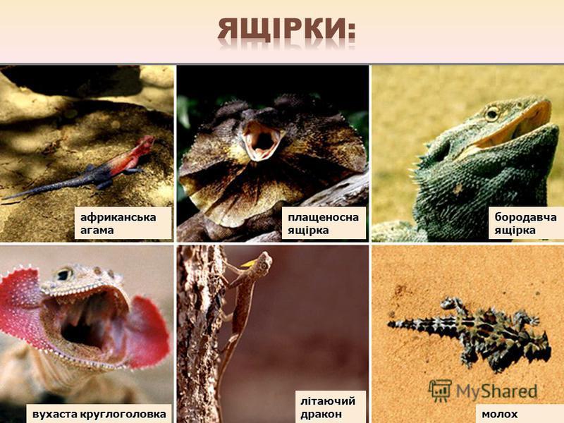 африканська агама плащеносна ящірка бородавча ящірка вухаста круглоголовка літаючий дракон молох