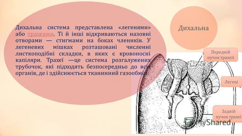 Дихальна Легені Задній пучок трахеї Передній пучок трахеїі Дихальна система представлена «легенями» або трахеями. Ті й інші відкриваються назовні отворами стигмами на боках члеників. У легеневих мішках розташовані численні листкоподібні складки, в як
