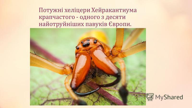Потужні хеліцери Хейракантиума крапчастого - одного з десяти найотруйніших павуків Європи.
