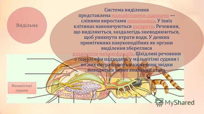 Видільна Система виділення представлена мальпігієвими судинами сліпими виростами кишківника. У їхніх клітинах накопичуються екскрети. Речовини, що виділяються, заздалегідь зневоднюються, щоб уникнути втрати води. У деяких примітивних павукоподібних я