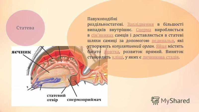 Статева Павукоподібні роздільностатеві. Запліднення в більшості випадків внутрішнє. Сперма виробляється в сім'яниках самців і доставляється в статеві шляхи самиці за допомогою педипальп, які утворюють копулятивний орган. Яйця містять багато жовтка, р