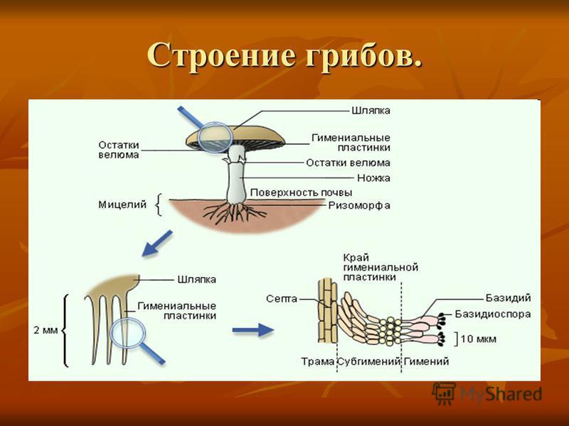 Строение грибов.