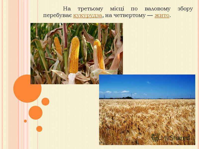 На третьому місці по валовому збору перебуває кукурудза, на четвертому жито.кукурудзажито