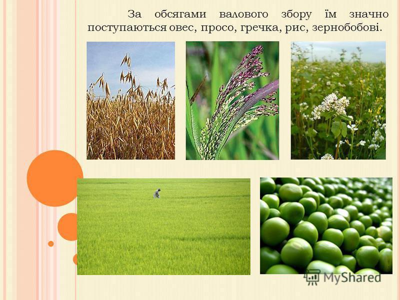 За обсягами валового збору їм значно поступаються овес, просо, гречка, рис, зернобобові.