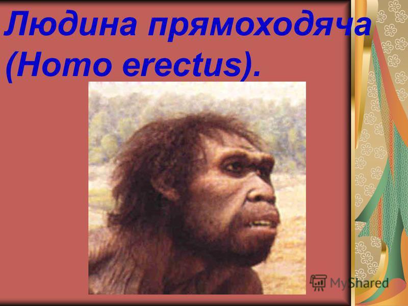 Людина прямоходяча (Homo erectus).