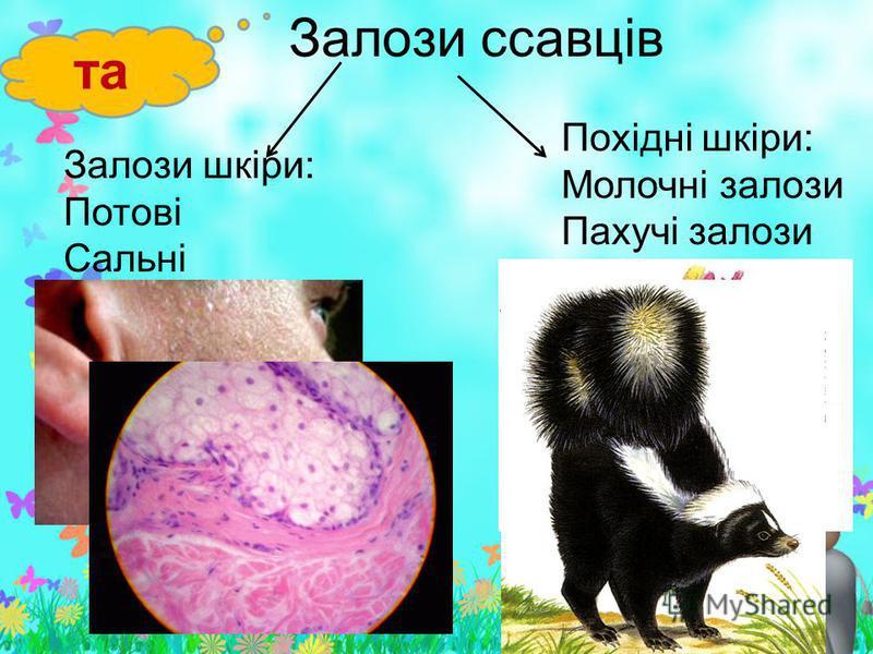 Залози ссавців та Залози шкіри: Потові Сальні Похідні шкіри: Молочні залози Пахучі залози
