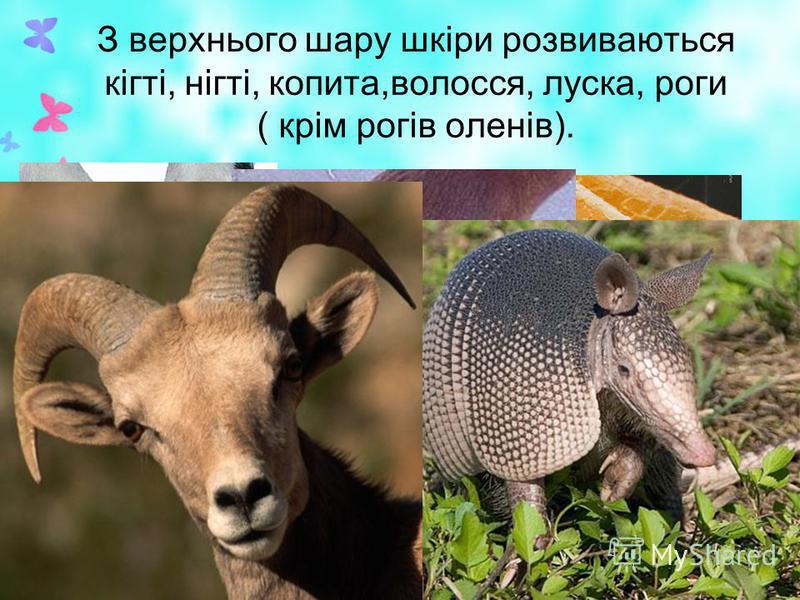 З верхнього шару шкіри розвиваються кігті, нігті, копита,волосся, луска, роги ( крім рогів оленів).