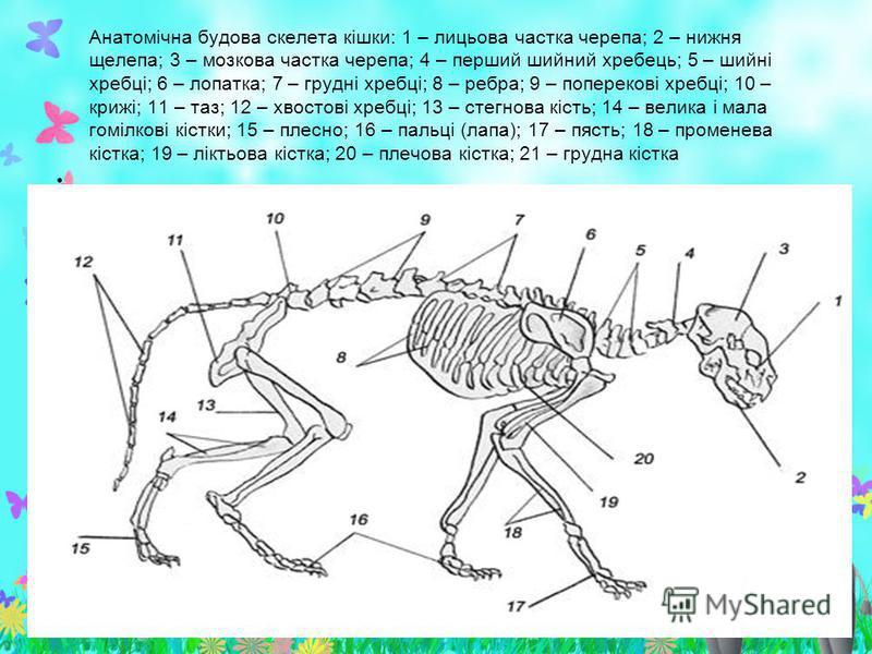 Анатомічна будова скелета кішки: 1 – лицьова частка черепа; 2 – нижня щелепа; 3 – мозкова частка черепа; 4 – перший шийний хребець; 5 – шийні хребці; 6 – лопатка; 7 – грудні хребці; 8 – ребра; 9 – поперекові хребці; 10 – крижі; 11 – таз; 12 – хвостов