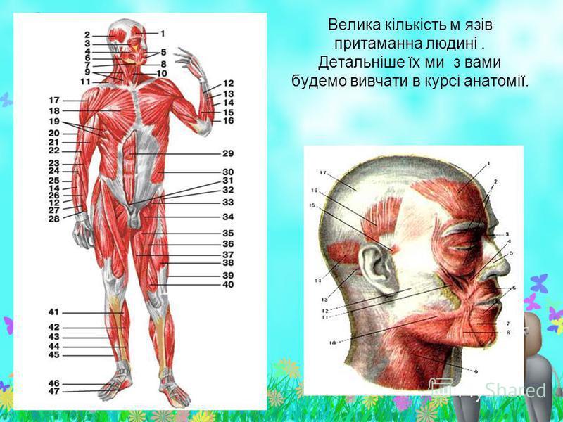 Велика кількість м язів притаманна людині. Детальніше їх ми з вами будемо вивчати в курсі анатомії.