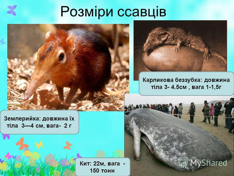 Розміри ссавців Землерийка: довжина їх тіла 34 см, вага- 2 г Кит: 22м, вага - 150 тонн Карликова беззубка: довжина тіла 3- 4.5см, вага 1-1,5г
