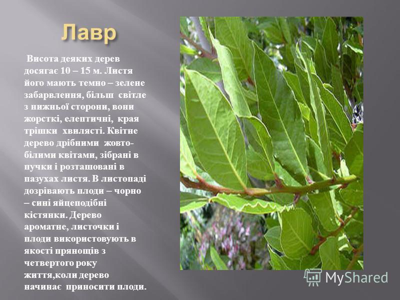 Висота деяких дерев досягає 10 – 15 м. Листя його мають темно – зелене забарвлення, більш світле з нижньої сторони, вони жорсткі, елептичні, края трішки хвилясті. Квітне дерево дрібними жовто - білими квітами, зібрані в пучки і розташовані в пазухах