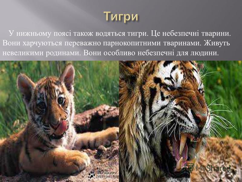 У нижньому поясі також водяться тигри. Це небезпечні тварини. Вони харчуються переважно парнокопитними тваринами. Живуть невеликими родинами. Вони особливо небезпечні для людини.