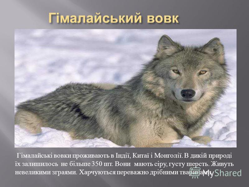 Гімалайські вовки проживають в Індії, Китаї і Монголії. В дикій природі їх залишилось не більше 350 шт. Вони мають сіру, густу шерсть. Живуть невеликими зграями. Харчуються переважно дрібними тваринами.