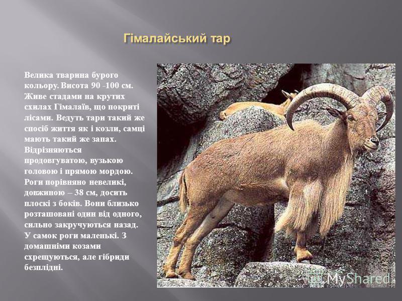 Велика тварина бурого кольору. Висота 90 -100 см. Живе стадами на крутих схилах Гімалаїв, що покриті лісами. Ведуть тари такий же спосіб життя як і козли, самці мають такий же запах. Відрізняються продовгуватою, вузькою головою і прямою мордою. Роги