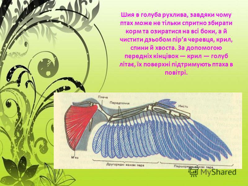 Шия в голуба рухлива, завдяки чому птах може не тільки спритно збирати корм та озиратися на всі боки, а й чистити дзьобом піря черевця, крил, спини й хвоста. За допомогою передніх кінцівок крил голуб літає, їх поверхні підтримують птаха в повітрі.