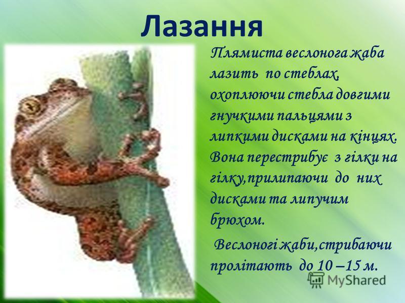 Лазання Плямиста веслонога жаба лазить по стеблах, охоплюючи стебла довгими гнучкими пальцями з липкими дисками на кінцях. Вона перестрибує з гілки на гілку,прилипаючи до них дисками та липучим брюхом. Веслоногі жаби,стрибаючи пролітають до 10 –15 м.