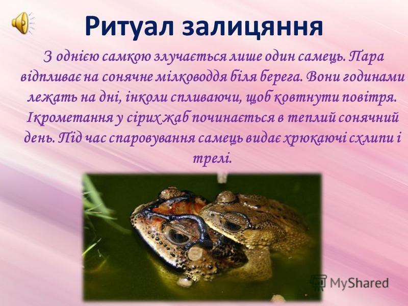 Ритуал залицяння З однією самкою злучається лише один самець. Пара відпливає на сонячне мілководдя біля берега. Вони годинами лежать на дні, інколи спливаючи, щоб ковтнути повітря. Ікрометання у сірих жаб починається в теплий сонячний день. Під час с