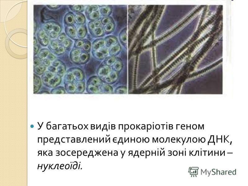 У багатьох видів прокаріотів геном представлений єдиною молекулою ДНК, яка зосереджена у ядерній зоні клітини – нуклеоїді.