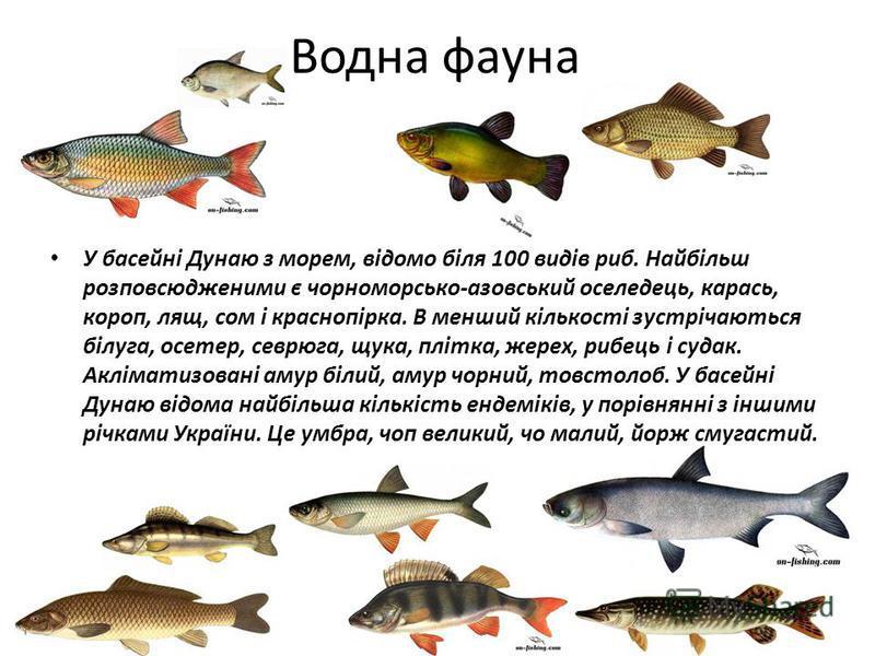 Водна фауна У басейні Дунаю з морем, відомо біля 100 видів риб. Найбільш розповсюдженими є чорноморсько-азовський оселедець, карась, короп, лящ, сом і краснопірка. В менший кількості зустрічаються білуга, осетер, севрюга, щука, плітка, жерех, рибець