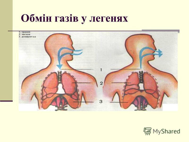 Обмін газів у легенях У легенях кисень з альвеолярного повітря переходить у кров, а вуглекислий газ із крові переходить у легені за допомогою дифузії крізь стінки альвеол і кровоносних капілярів. Напрям і швидкість дифузії визначаються парціальним ти