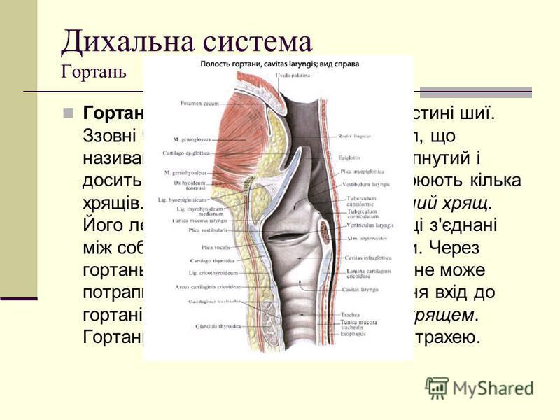 Дихальна система Гортань Гортань розташована на передній частині шиї. Ззовні частину гортані видно як виступ, що називають кадиком. У чоловіків він випнутий і досить помітний. Основу гортані утворюють кілька хрящів. Найбільший з них - щитовидний хрящ