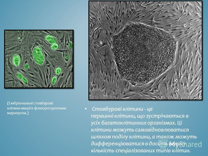 Стовбурові клітини - це первинні клітини, що зустрічаються в усіх багатоклітинних організмах. Ці клітини можуть самовідновлюватися шляхом поділу клітини, а також можуть дифференціюватися в досить велику кількість спеціалізованих типів клітин. (Ембріо