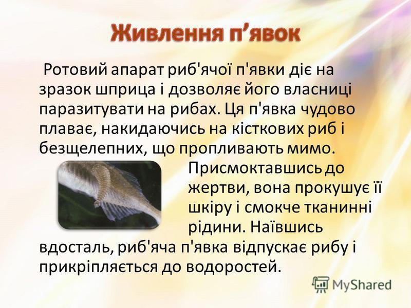 Ротовий апарат риб'ячої п'явки діє на зразок шприца і дозволяє його власниці паразитувати на рибах. Ця п'явка чудово плаває, накидаючись на кісткових риб і безщелепних, що пропливають мимо. Присмоктавшись до жертви, вона прокушує її шкіру і смокче тк