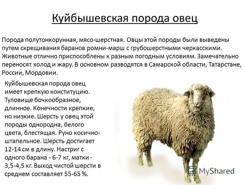 Куйбышевская порода овец Порода полутонкорунная, мясо-шерстная. Овцы этой породы были выведены путем скрещивания баранов ромни-марш с грубошерстными черкасскими. Животные отлично приспособлены к разным погодным условиям. Замечательно переносят холод