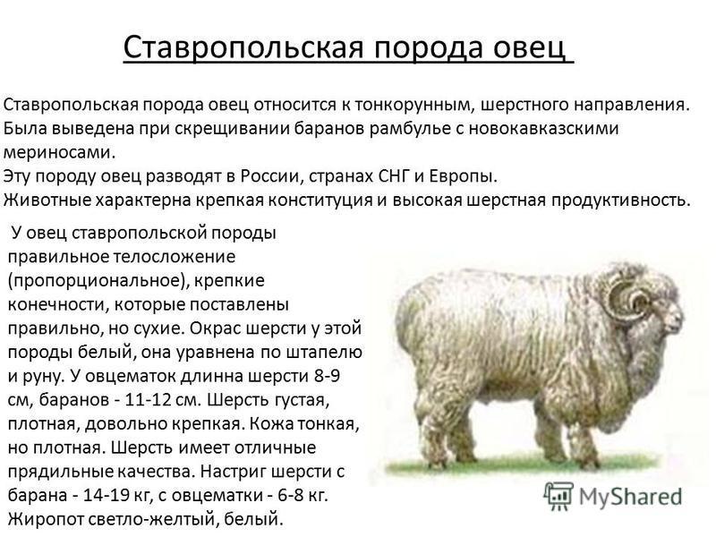 Ставропольская порода овец Ставропольская порода овец относится к тонкорунным, шерстного направления. Была выведена при скрещивании баранов рамбулье с новокавказскими мериносами. Эту породу овец разводят в России, странах СНГ и Европы. Животные харак