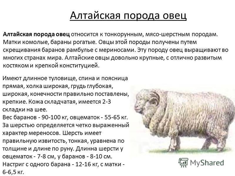 Алтайская порода овец Алтайская порода овец относится к тонкорунным, мясо-шерстным породам. Матки комолые, бараны рогатые. Овцы этой породы получены путем скрещивания баранов рамбулье с мериносами. Эту породу овец выращивают во многих странах мира. А