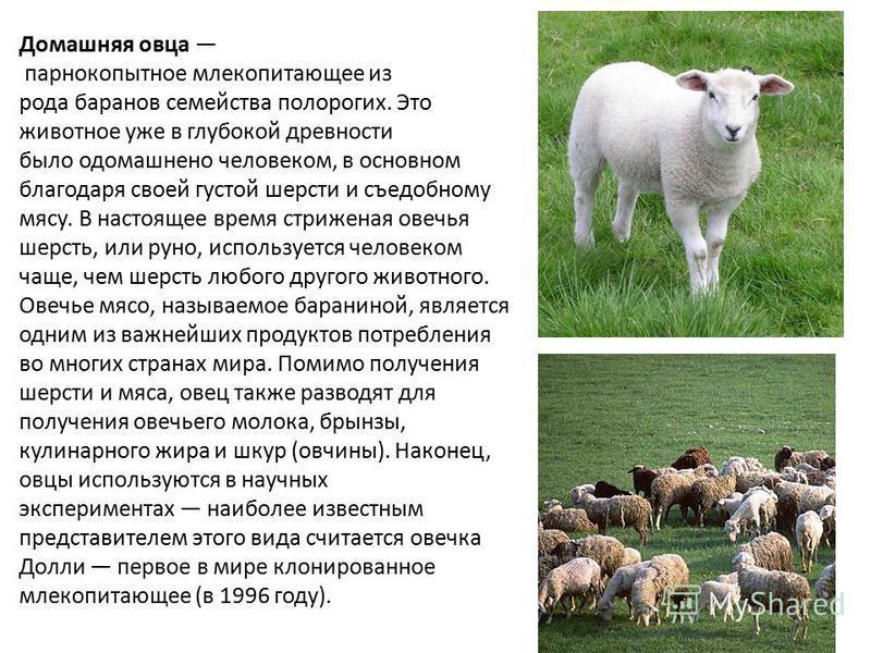 Домашняя овца парнокопытное млекопитающее из рода баранов семейства полорогих. Это животное уже в глубокой древности было одомашнено человеком, в основном благодаря своей густой шерсти и съедобному мясу. В настоящее время стриженая овечья шерсть, или