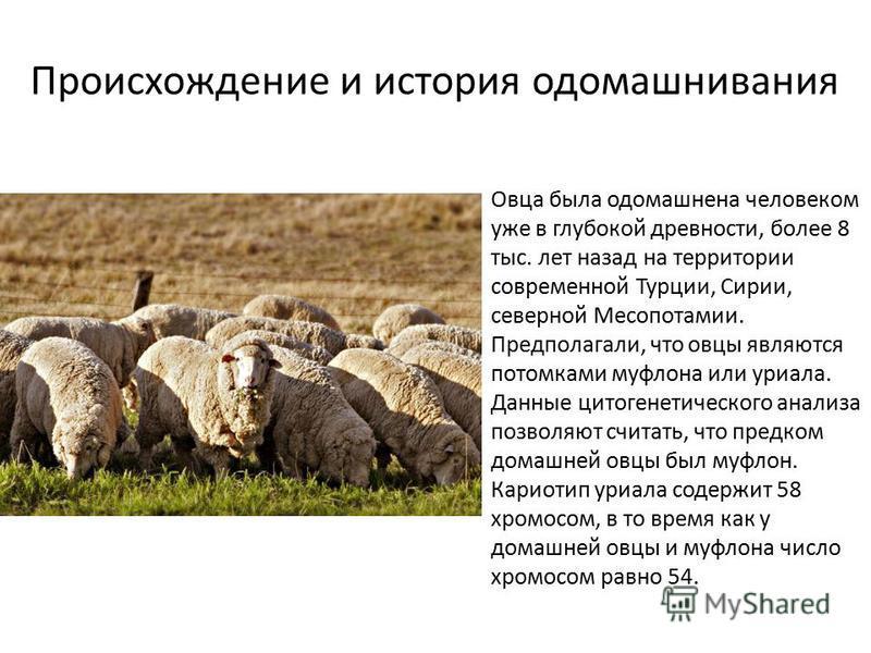Овца была одомашнена человеком уже в глубокой древности, более 8 тыс. лет назад на территории современной Турции, Сирии, северной Месопотамии. Предполагали, что овцы являются потомками муфлона или уриала. Данные цитогенетического анализа позволяют сч
