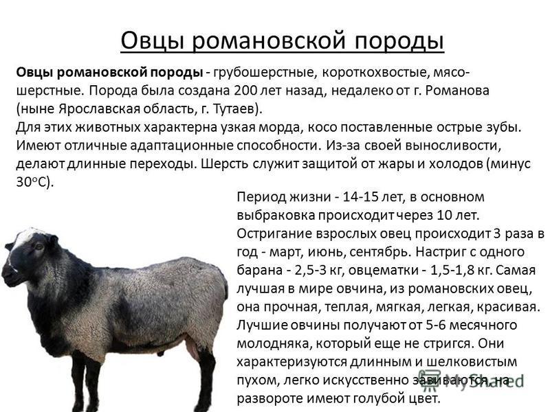 Овцы романовской породы Период жизни - 14-15 лет, в основном выбраковка происходит через 10 лет. Остригание взрослых овец происходит 3 раза в год - март, июнь, сентябрь. Настриг с одного барана - 2,5-3 кг, овцематки - 1,5-1,8 кг. Самая лучшая в мире