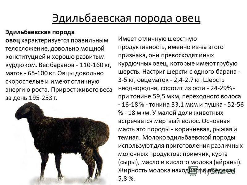 Эдильбаевская порода овец Имеет отличную шерстную продуктивность, именно из-за этого признака, они превосходят иных курдючных овец, которые имеют грубую шерсть. Настриг шерсти с одного барана - 3-5 кг, овцематок - 2,4-2,7 кг. Шерсть неоднородна, сост
