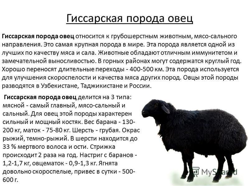 Гиссарская порода овец Гиссарская порода овец относится к грубошерстным животным, мясо-сального направления. Это самая крупная порода в мире. Эта порода является одной из лучших по качеству мяса и сала. Животные обладают отличным иммунитетом и замеча