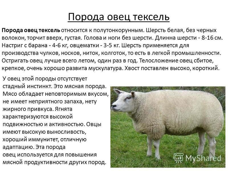 Порода овец тексель Порода овец тексель относится к полутонкорунным. Шерсть белая, без черных волокон, торчит вверх, густая. Голова и ноги без шерсти. Длинна шерсти - 8-16 см. Настриг с барана - 4-6 кг, овцематки - 3-5 кг. Шерсть применяется для прои