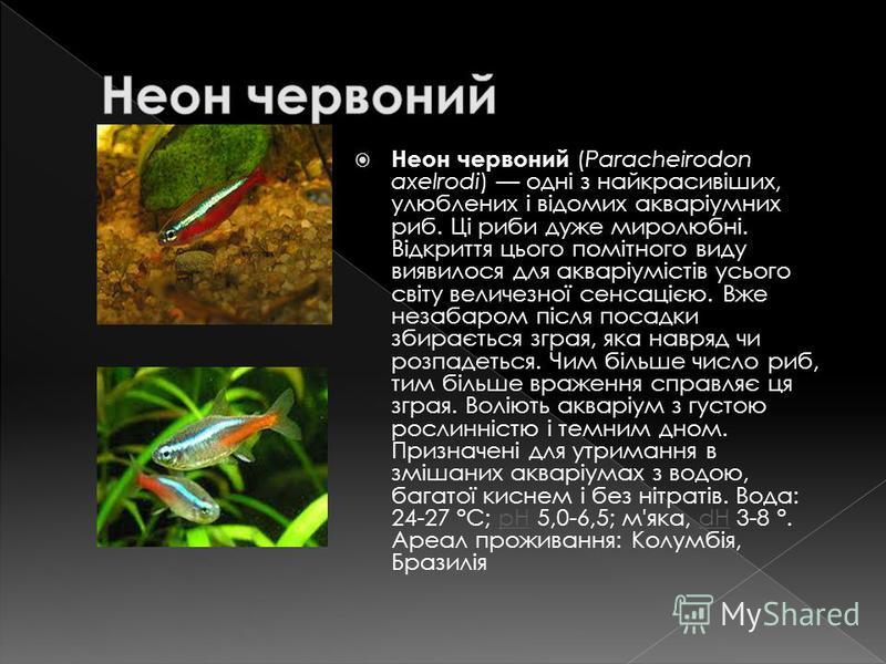 Неон червоний (Paracheirodon axelrodi) одні з найкрасивіших, улюблених і відомих акваріумних риб. Ці риби дуже миролюбні. Відкриття цього помітного виду виявилося для акваріумістів усього світу величезної сенсацією. Вже незабаром після посадки збирає