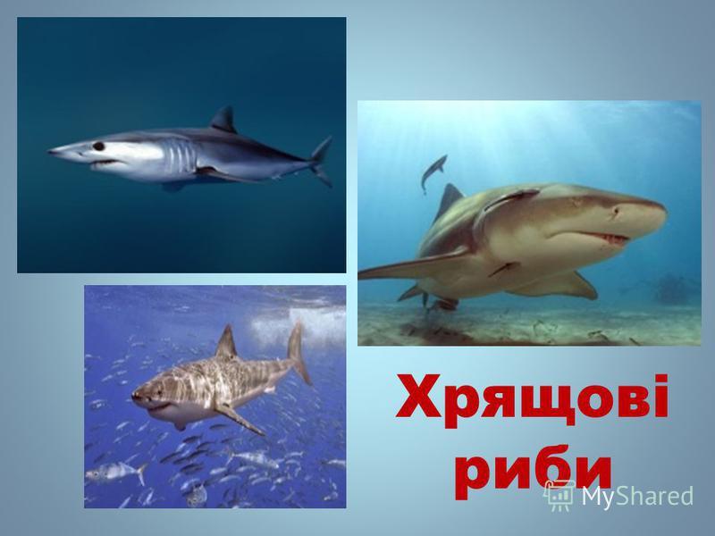 Хрящові рыби