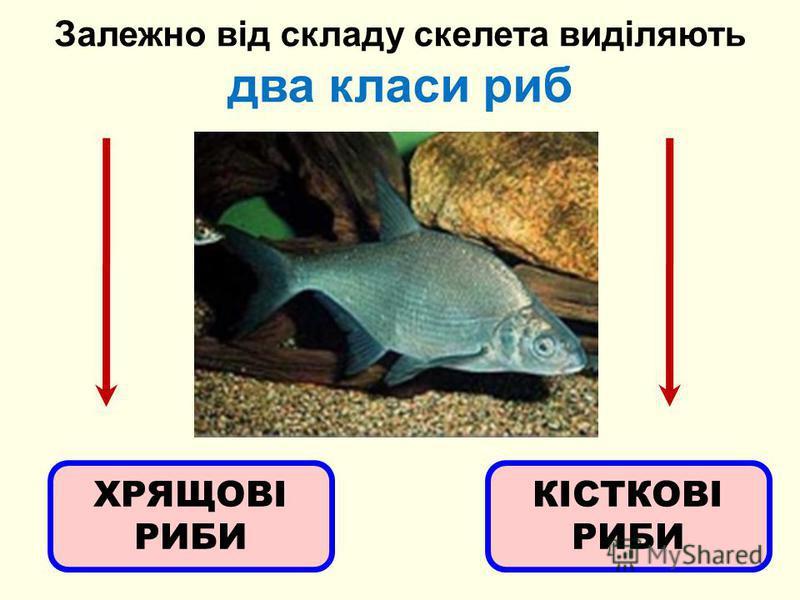 Залежно від складу скелета виділяють два класи рыб ХРЯЩОВІ РИБИ КІСТКОВІ РИБИ