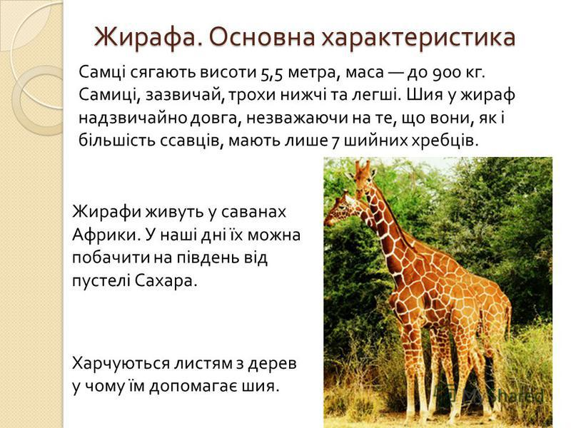 Жирафа. Основна характеристика Самці сягають висоти 5,5 метра, маса до 900 кг. Самиці, зазвичай, трохи нижчі та легші. Шия у жираф надзвичайно довга, незважаючи на те, що вони, як і більшість ссавців, мають лише 7 шийних хребців. Жирафи живуть у сава