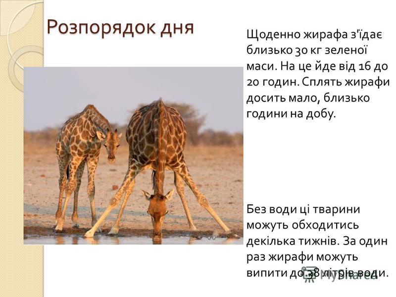Розпорядок дня Щоденно жирафа з ' їдає близько 30 кг зеленої маси. На це йде від 16 до 20 годин. Сплять жирафи досить мало, близько години на добу. Без води ці тварини можуть обходитись декілька тижнів. За один раз жирафи можуть випити до 38 літрів в