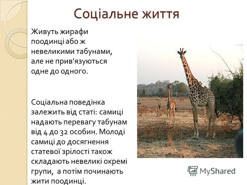Соціальне життя Соціальна поведінка залежить від статі : самиці надають перевагу табунам від 4 до 32 особин. Молоді самиці до досягнення статевої зрілості також складають невеликі окремі групи, а потім починають жити поодинці. Живуть жирафи поодинці