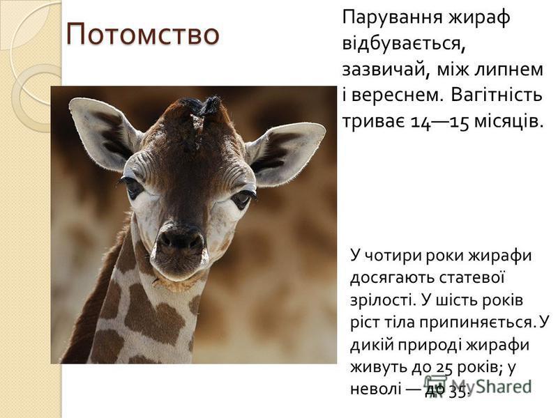 Потомство Парування жираф відбувається, зазвичай, між липнем і вереснем. Вагітність триває 1415 місяців. У чотири роки жирафи досягають статевої зрілості. У шість років ріст тіла припиняється. У дикій природі жирафи живуть до 25 років ; у неволі до 3