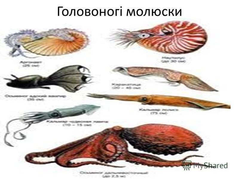 Головоногі молюски