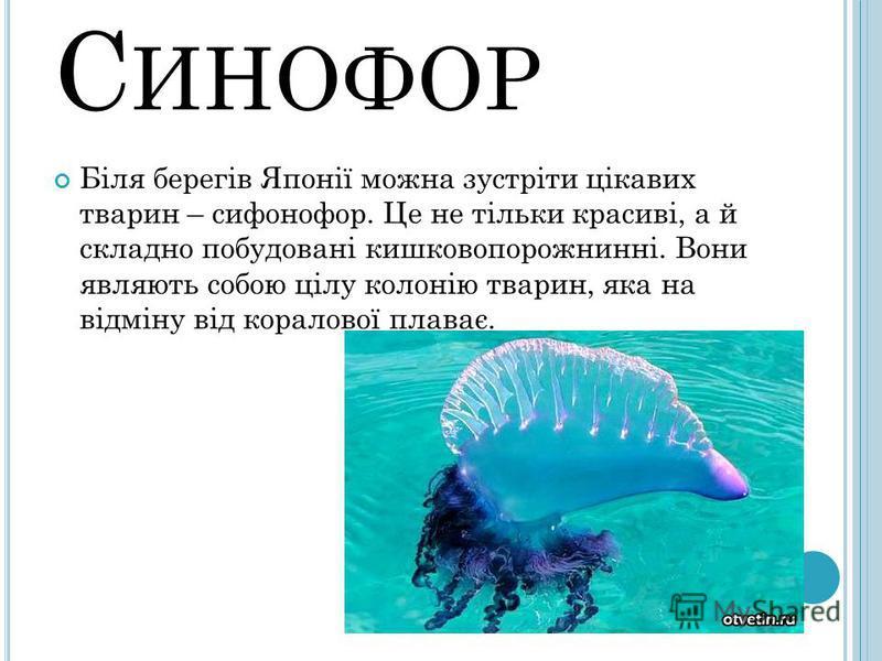 С ИНОФОР Біля берегів Японії можна зустріти цікавих тварин – сифонофор. Це не тільки красиві, а й складно побудовані кишковопорожнинні. Вони являють собою цілу колонію тварин, яка на відміну від коралової плаває.