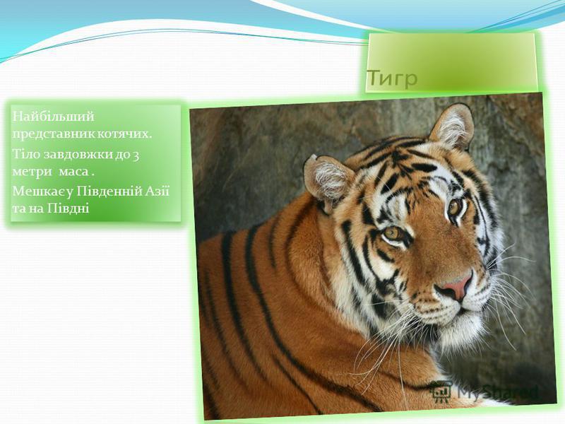 Найбільший представник котячих. Тіло завдовжки до 3 метри маса. Мешкає у Південній Азії та на Півдні Найбільший представник котячих. Тіло завдовжки до 3 метри маса. Мешкає у Південній Азії та на Півдні