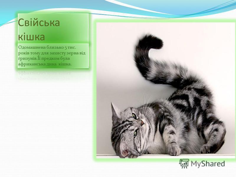 Свійська кішка