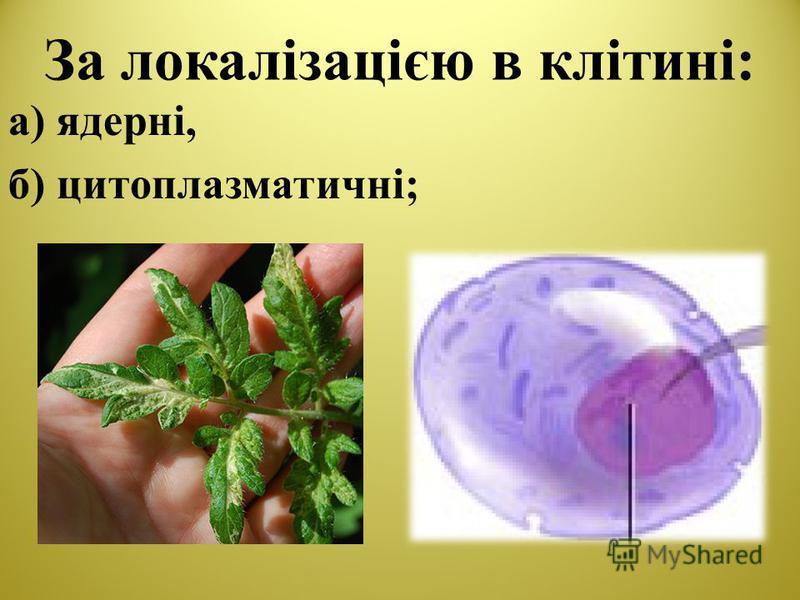 За локалізацією в клітині: а) ядерні, б) цитоплазматичні;